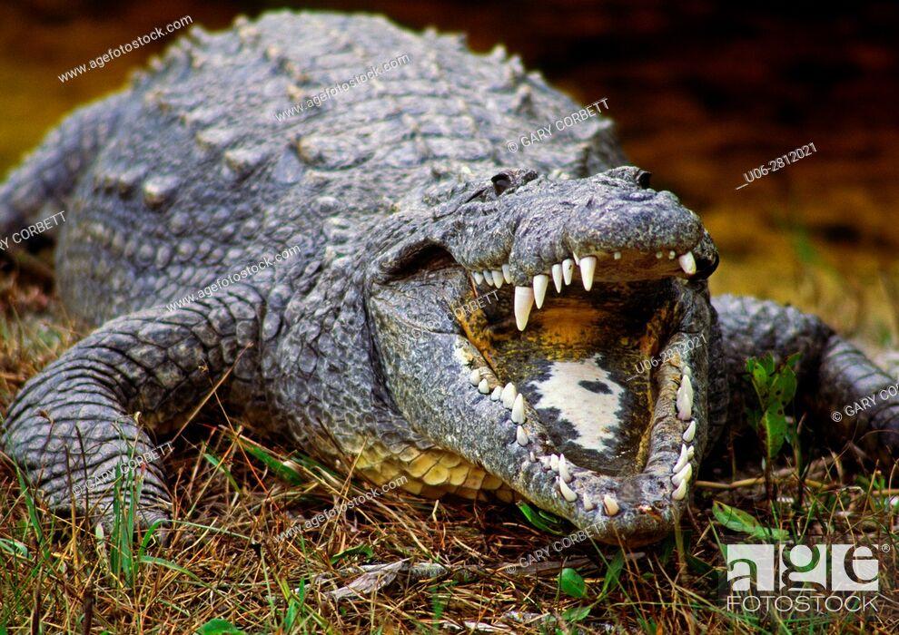 Stock Photo: American Crocodile in Florida USA at Ding Darling Wildlife Refuge.
