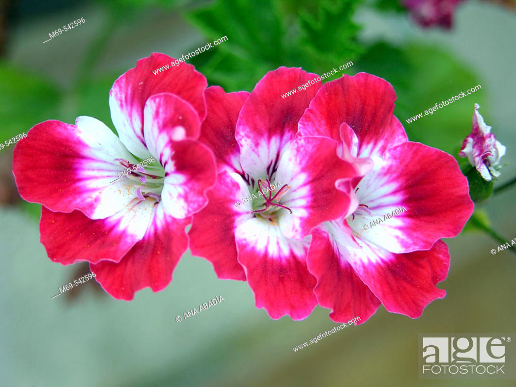 Stock Photo: Cranesbill.