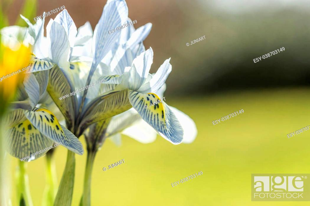 Stock Photo: Colorful pattern of lines and dots on yellow on the throat of a white spring flower to attract insects to the pollen for pollination.