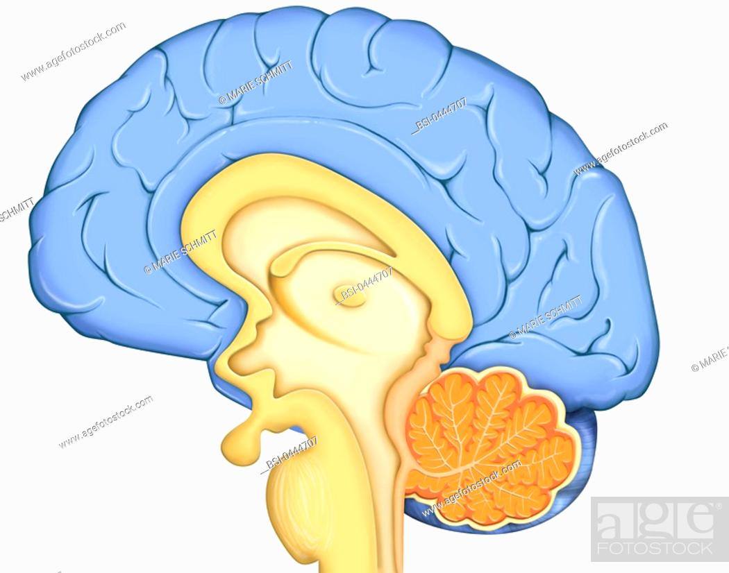 Brain Drawing Anatomy Of The Encephalon Median Section With