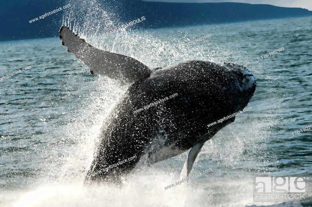 Imagen: Humpback whale Megaptera novaeangliae breaching in Husavik, Iceland.