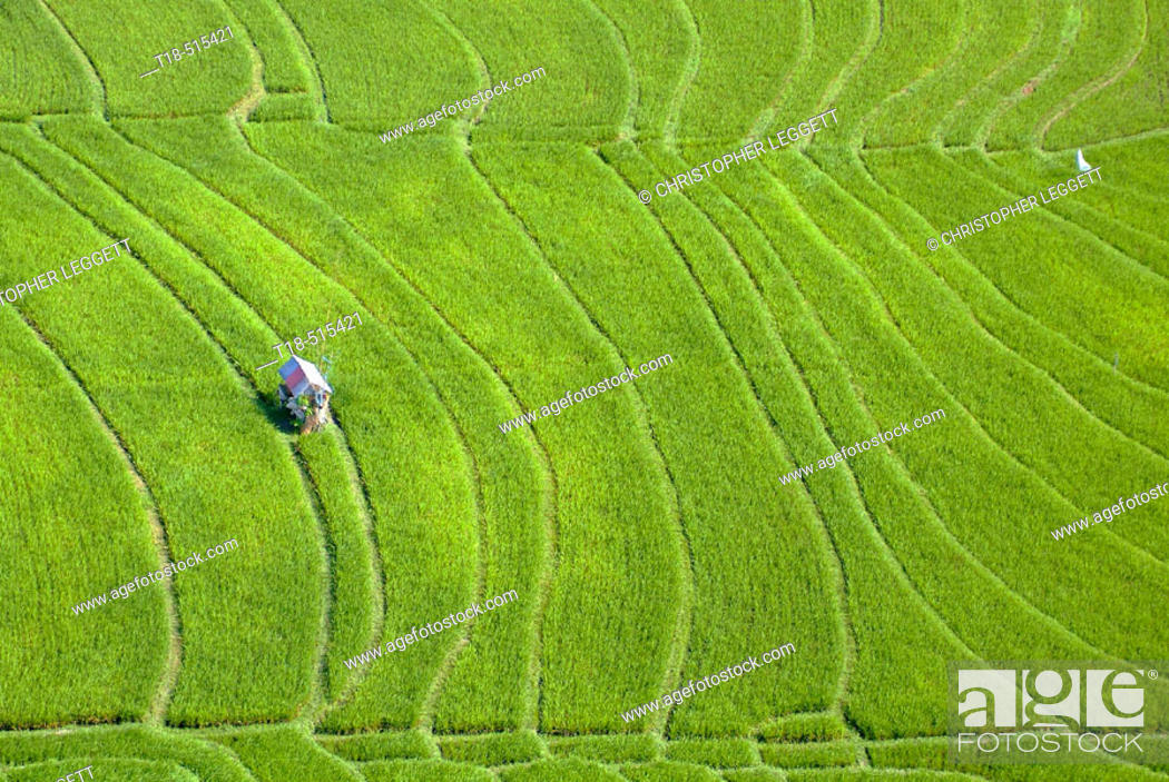 Photo de stock: Aerial view of hut amidst rice field, Canggu, Indonesia.