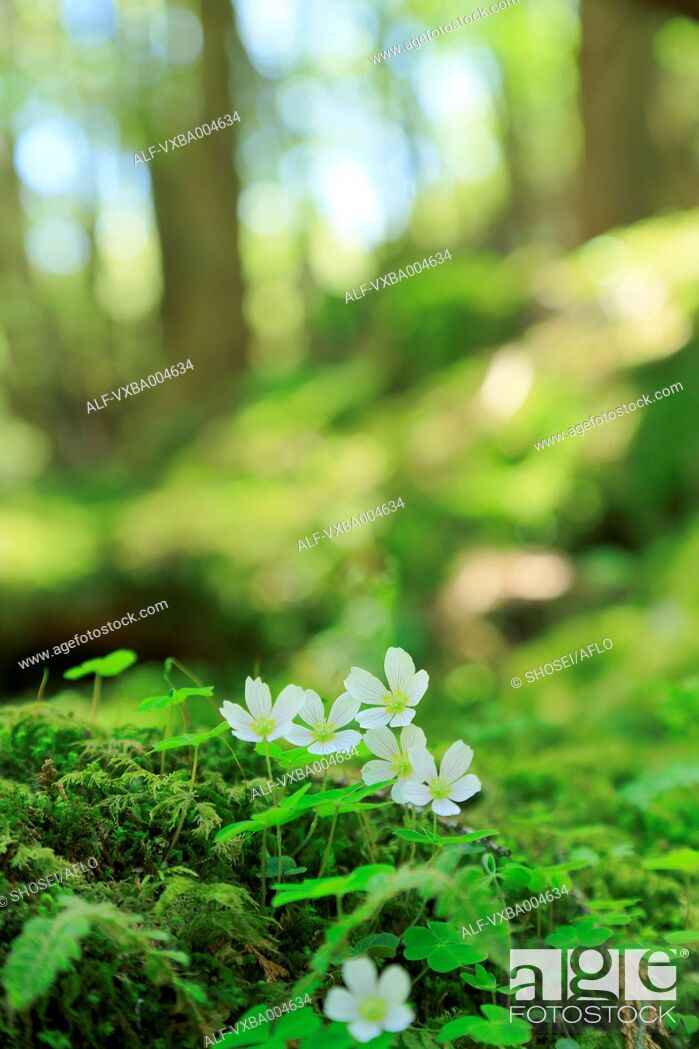 Stock Photo: Wood Sorrel.
