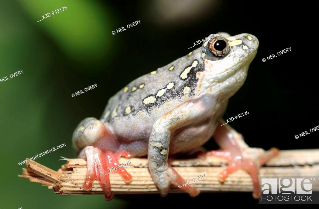 Stock Photo: Painted reed frog Hyperolius marmoratus South Africa.