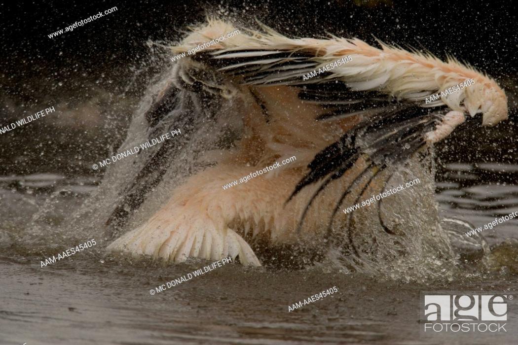 Stock Photo: African White Pelican (Pelecanus onocrotalus) bathing in a fresh-water inlet in Lake Nakuru National Park, Kenya.