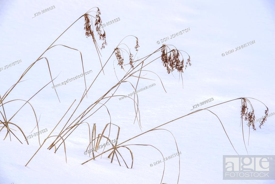 Stock Photo: Marsh reeds protruding from the snow, Greater Sudbury, Ontario, Canada.