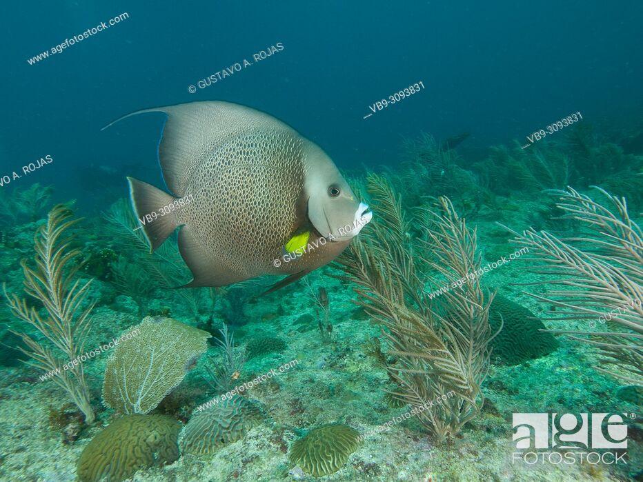 Stock Photo: Pomacanthus arcuatus- angelfish, los roques venezuela.