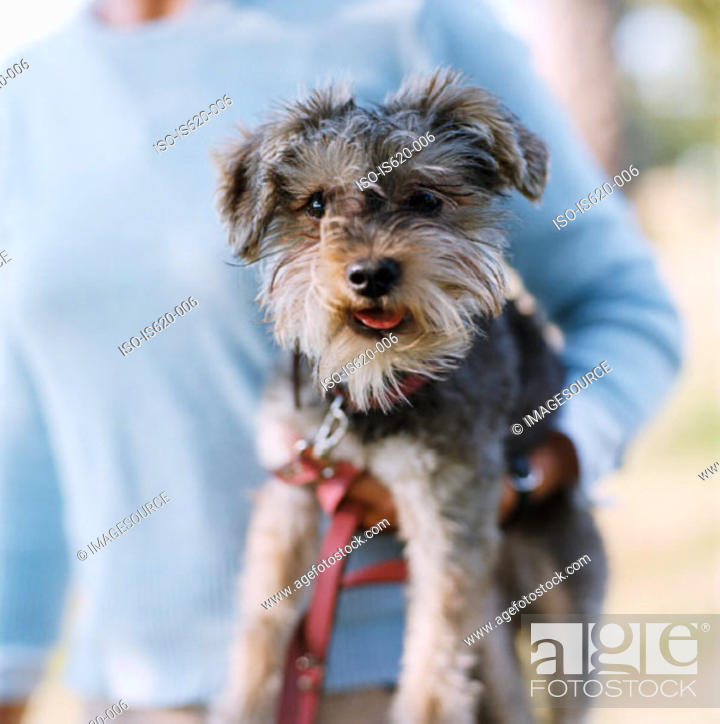 Stock Photo: Girl holding a terrier.
