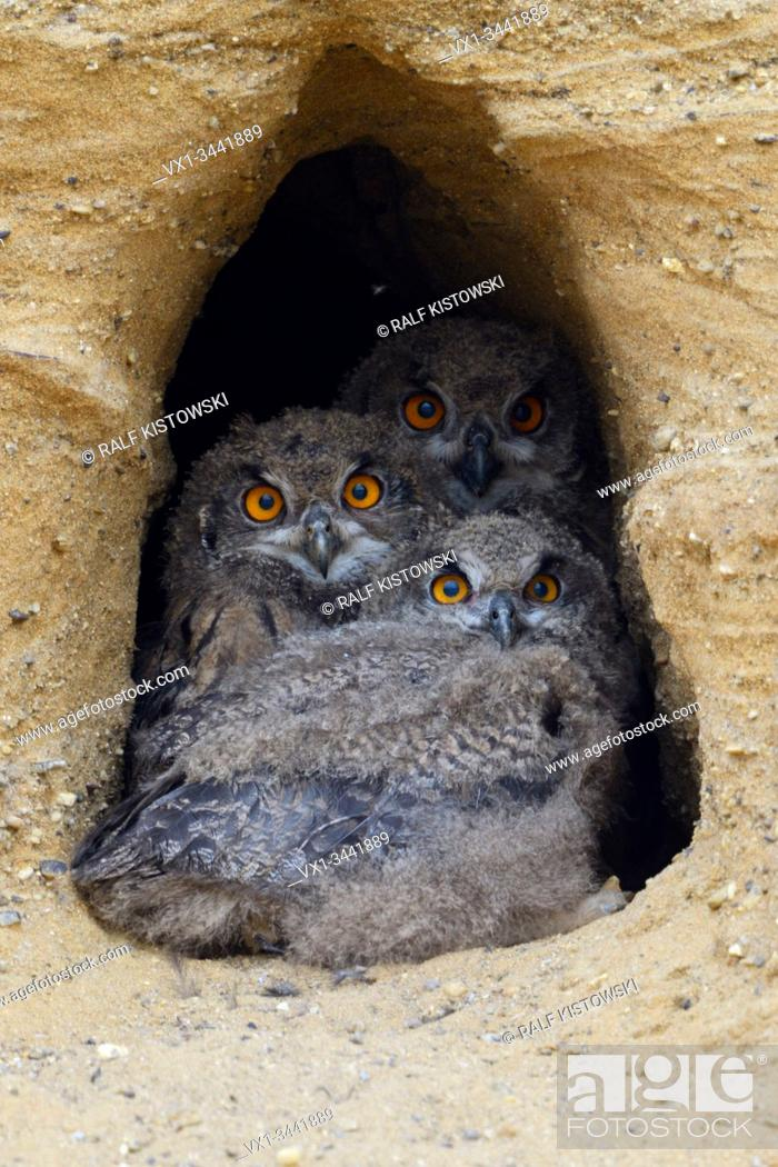 Stock Photo: Eurasian Eagle Owls / Europaeische Uhus ( Bubo bubo ), young chicks in the entrance of their nest burrow, watching, looks funny, wildlife.