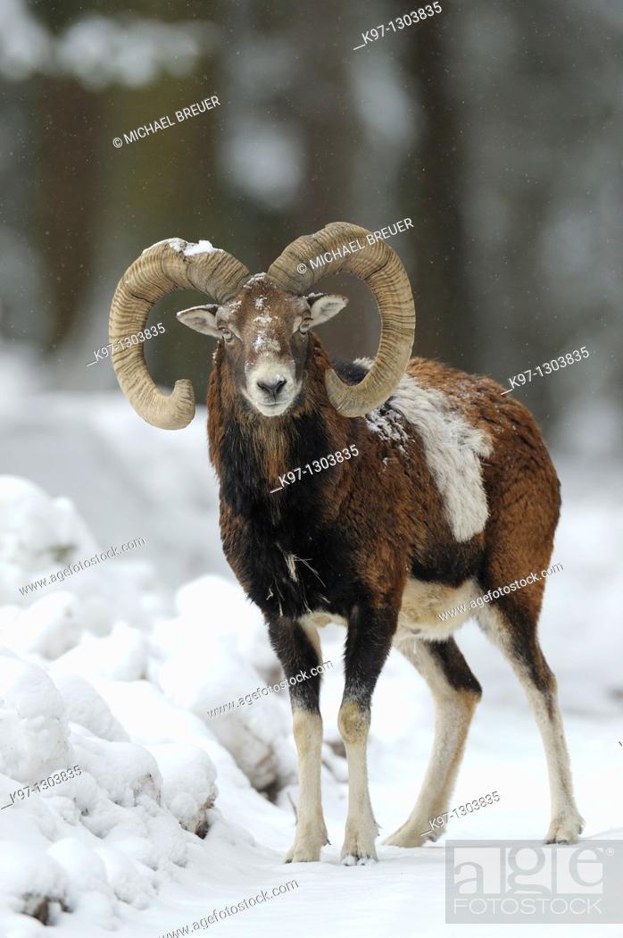 Stock Photo: Mouflon (Ovis ammon musimon) in winter, Germany, Europe.