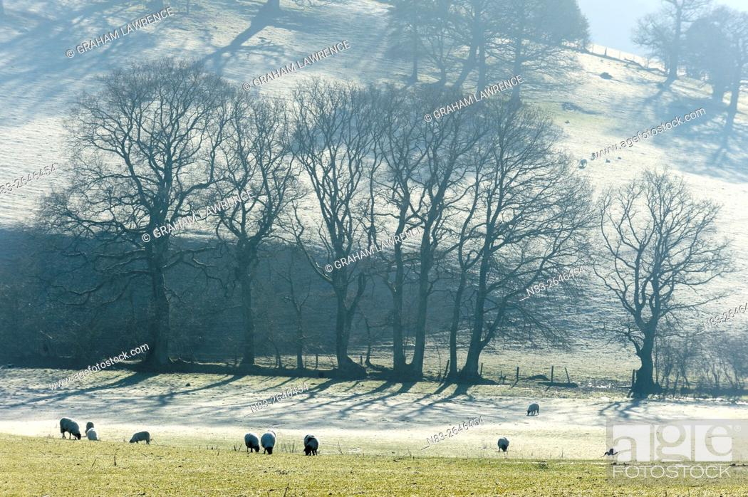 Stock Photo: Sheep graze on a very cold morning in a field near Builth Wells, Powys, Wales, UK>.