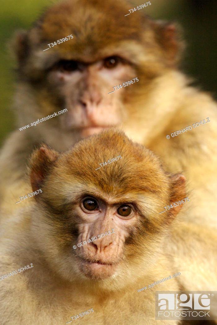 Stock Photo: Barbary Macaque with Young (Macaca sylvana).