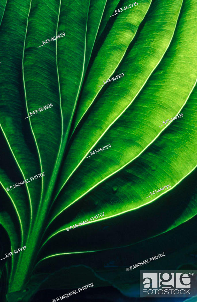 Stock Photo: Large green leaf.