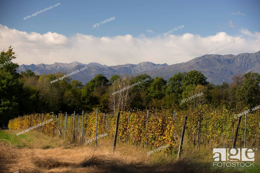 Stock Photo: Vineyards in northern Piedmont owned by Luca und Paolo De Marchi in the region of Lessona.