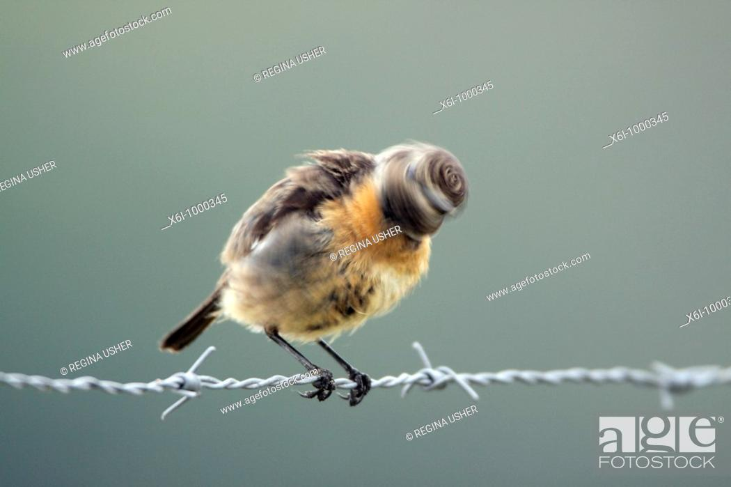 Stock Photo: Stonechat Saxicola torquata, female shaking head after bathing, Portugal.