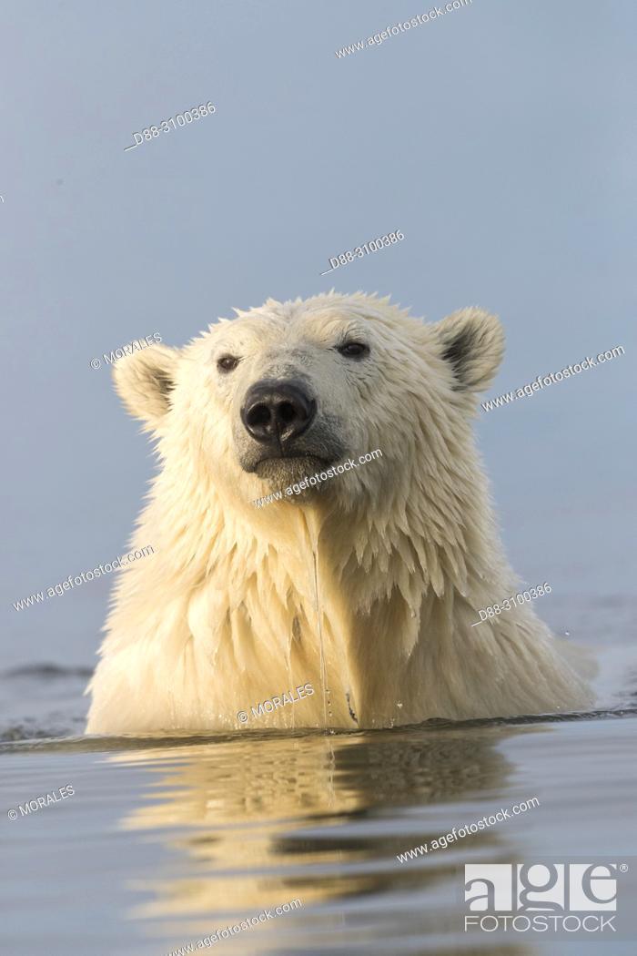 Photo de stock: United States, Alaska, Arctic National Wildlife Refuge, Kaktovik, Polar Bear( Ursus maritimus ), along a barrier island outside Kaktovik, Alaska.