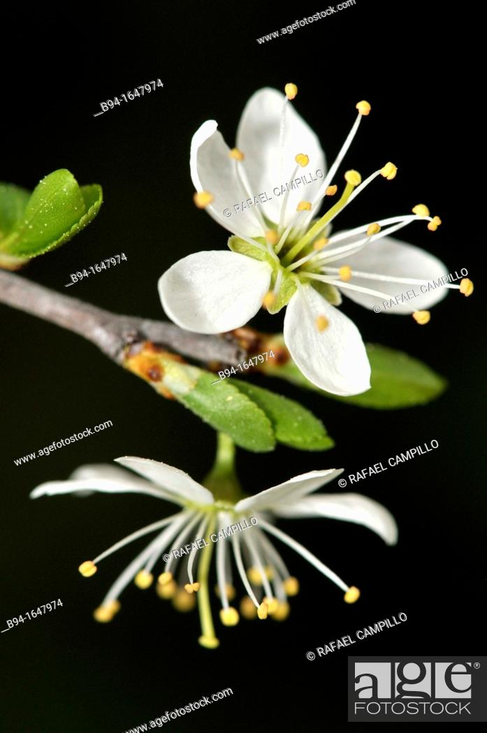 Stock Photo: Prunus spinosa, Bblackthorn or Sloe. Fam. Rosaceae. Turo del Putget Park. Barcelona. Catalonia. Spain.