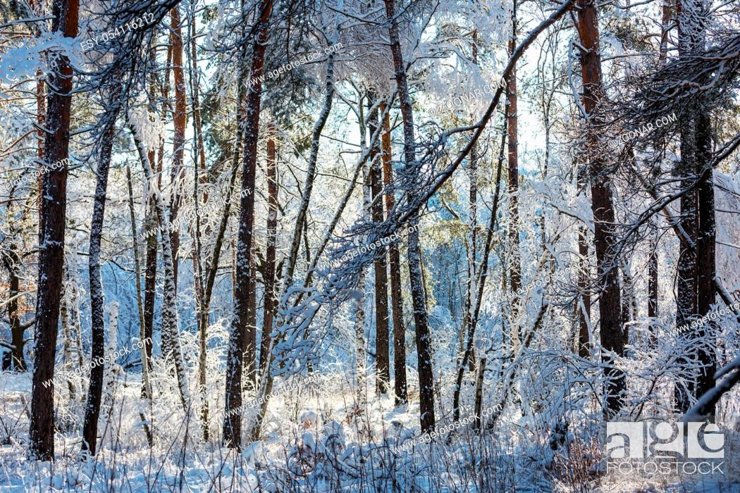 Imagen: Scenic snow-covered forest in winter season. Good for Christmas background.