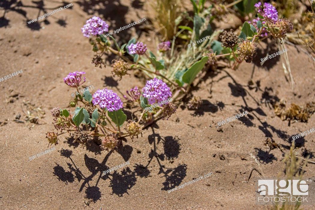 Stock Photo: Purple Sand Verbena (Abronia umbellata ), blooming, USA, Arizona, Salt River, Phoenix.