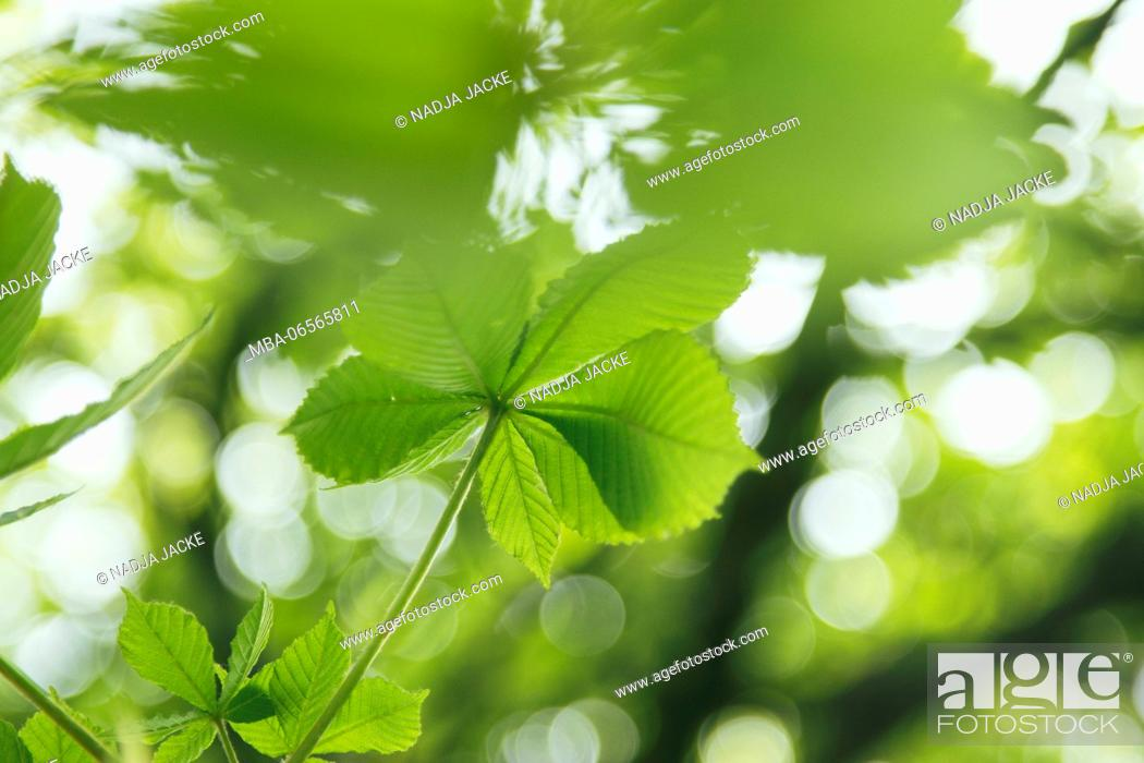 Stock Photo: fresh, green chestnut foliage in spring sun,.