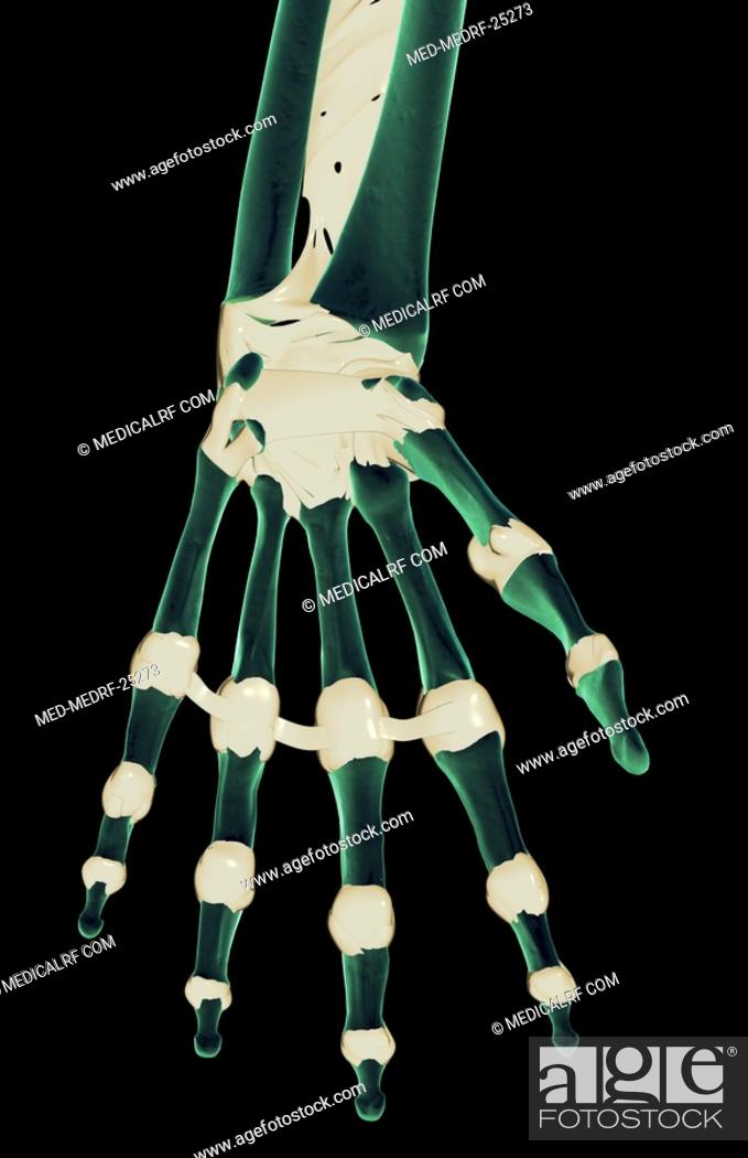 The Ligaments Of The Hand Stock Photo Picture And Royalty Free