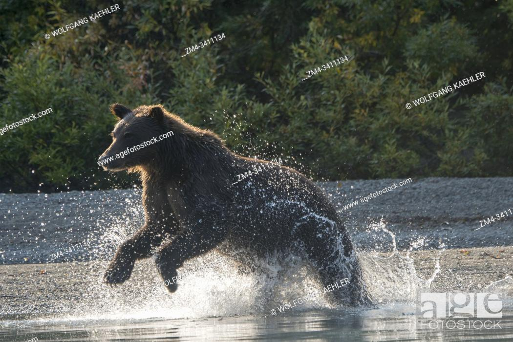 Stock Photo: A Brown bear (Ursus arctos) is fishing for salmon along the shore of Lake Crescent in Lake Clark National Park and Preserve, Alaska, USA.