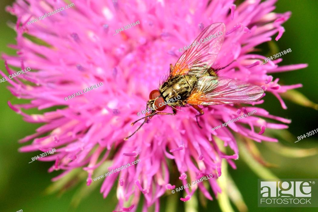 Stock Photo: Insect, díptera fly, on a carduus flower. Sorteny valley Natural Park. Andorra. Europe.