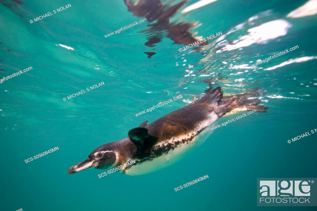 Stock Photo: Adult Galapagos penguin Spheniscus mendiculus hunting fish underwater in the Galapagos Island Group, Ecuador This is the only species of penguin in the northern.