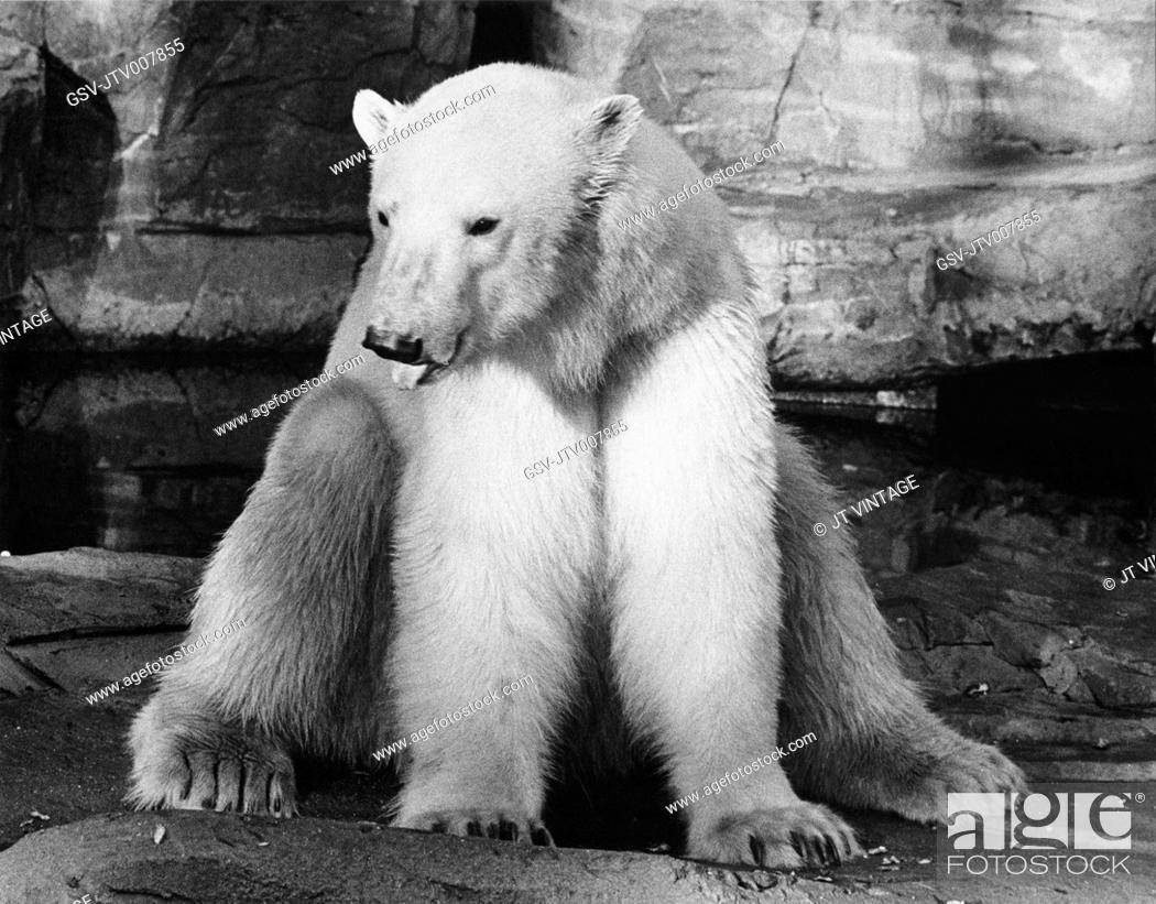 Imagen: Polar Bear, Brookfield Zoo, Chicago Zoological Park, 1975.