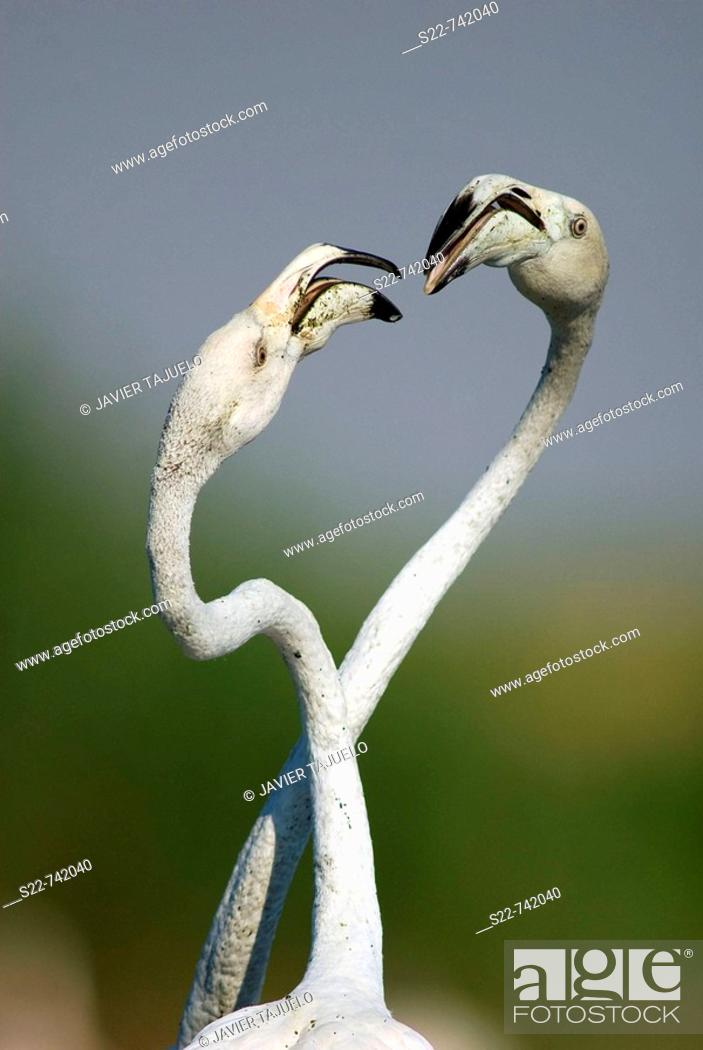 Stock Photo: Greater Flamingo (Phoenicopterus ruber roseus).