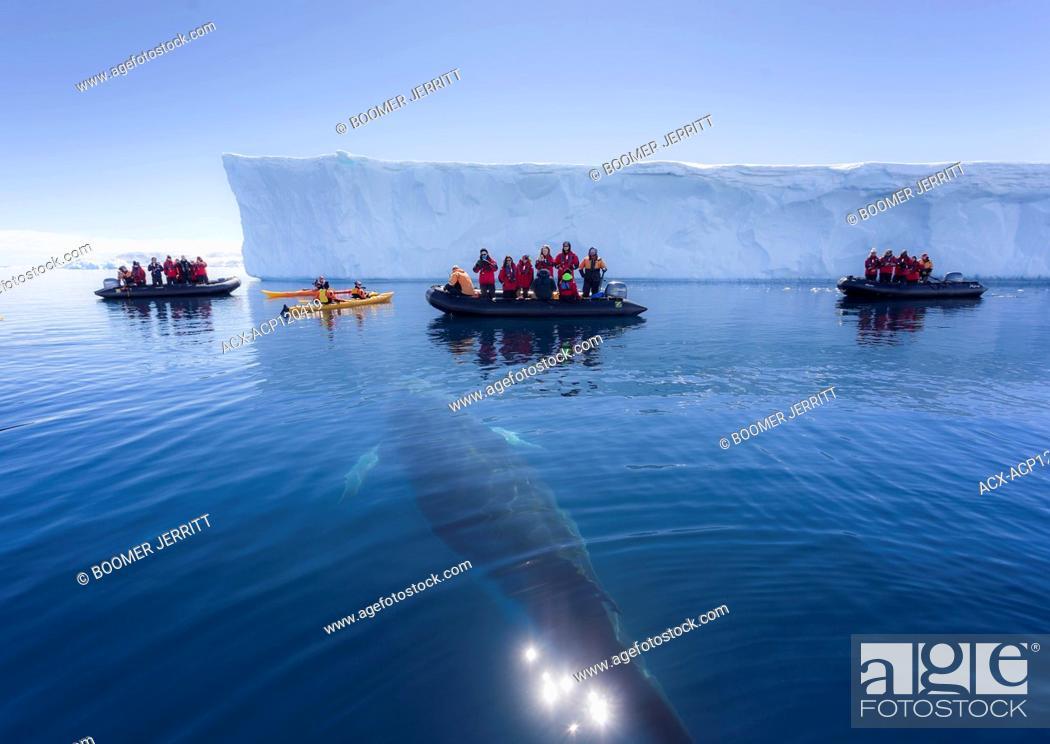 Imagen: Zodiac passengers watch as a curious Minke Whale (Balaenoptera bonaerensis) prepares to surface while swimming in Curtis Bay. Antarctic Peninsula.