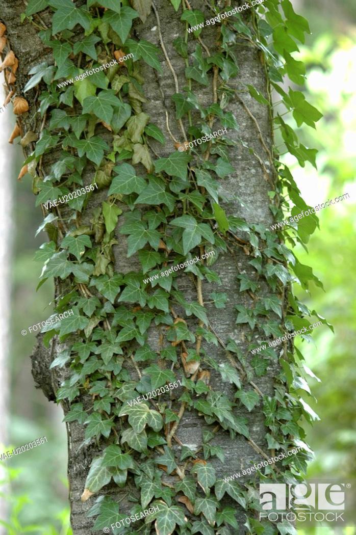 Stock Photo: bente, emporklettern, begsteiger, araliengewaechse, efeustock, botanical, araliengewaechs.