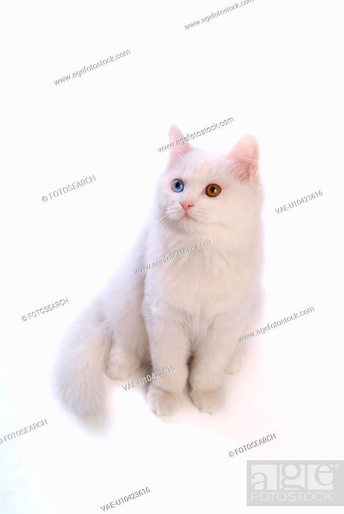 Stock Photo: feline, oddeye, domestic animal, abyssinian, turkishangora, TurkishAngora.