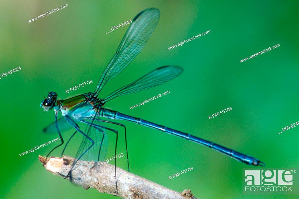 Stock Photo: Damselfly, Heliocharis amazona, Dicteriadidae, Odonata, Luís Antônio. Sao Paulo. Brazil.