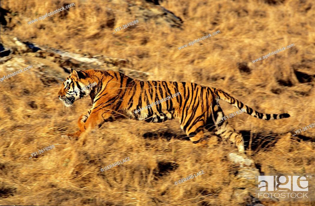 Imagen: Bengal Tiger, panthera tigris tigris, Adult Running.