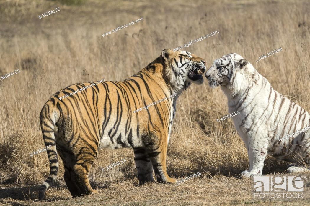 Stock Photo: South Africa, Private reserve, Asian (Bengal) Tiger (Panthera tigris tigris), one regular and one white, confrontation between the male (normal) and the female.