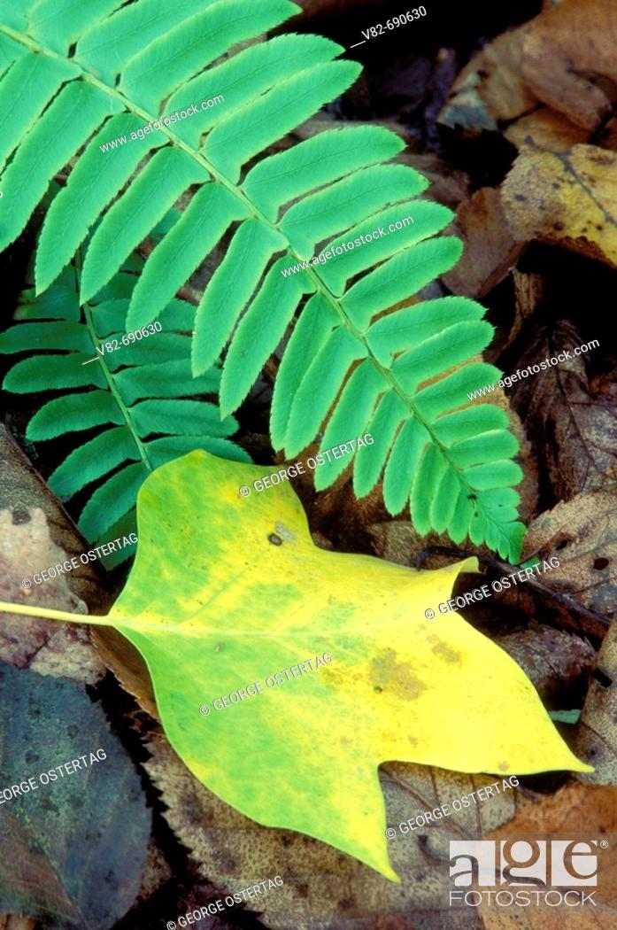 Stock Photo: Tulip poplar (Liriodendron tulipifera) leaf with Christmas fern (Polystichum acrostichoides), Devil's Den Preserve, Connecticut, USA.