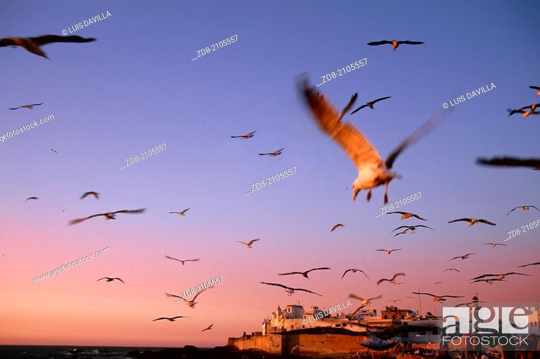 Imagen: Seagulls .essaouira. morocco.