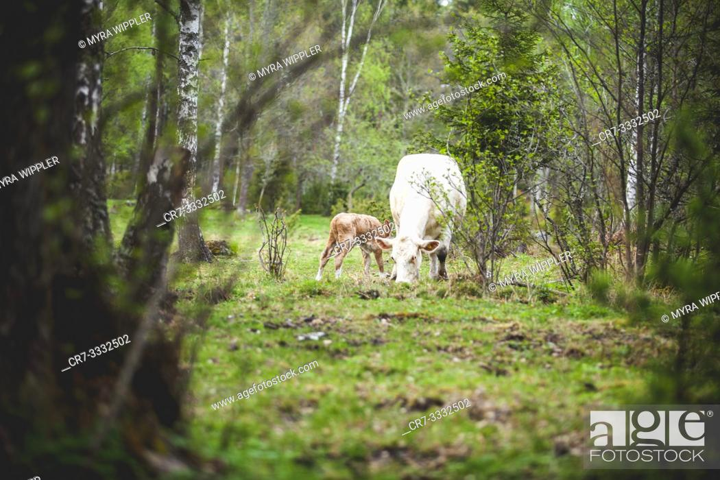 Stock Photo: Newborn calf together with mother in nature.