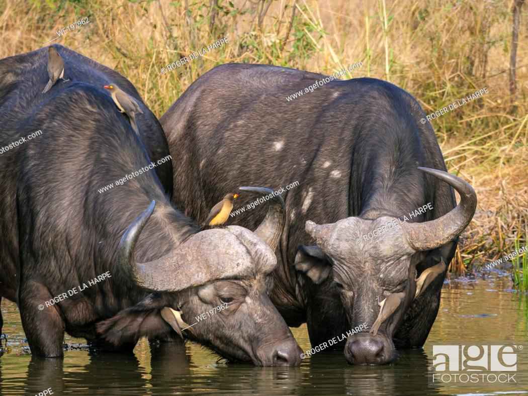Stock Photo: African buffalo or Cape buffalo (Syncerus caffer) drinking with red-billed oxpecker (Buphagus erythrorhynchus) and yellow-billed oxpecker (Buphagus africanus).