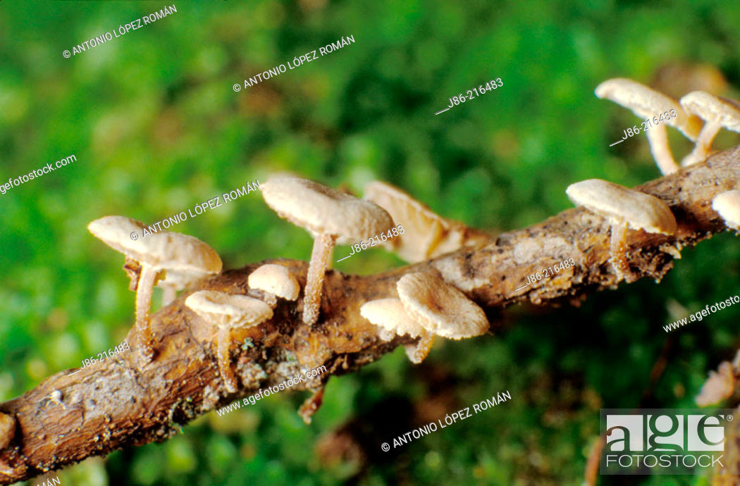 Stock Photo: Fungi on a dead branch.