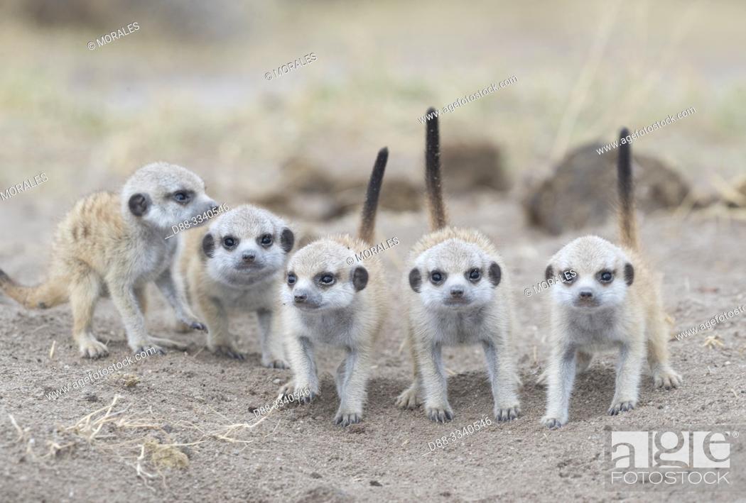 Stock Photo: Africa, Southern Africa, Bostwana, Nxai pan national park, Meerkat or suricate (Suricata suricatta), adults and youngs.