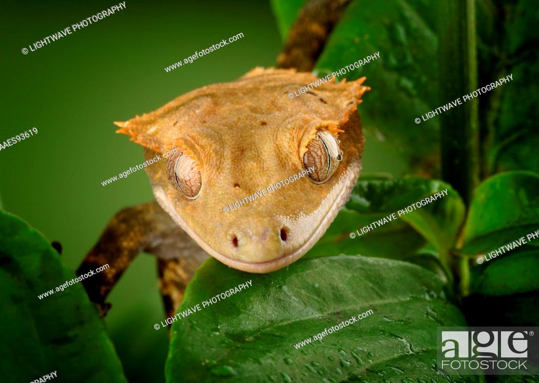 New Caledonian Crested Gecko (Rhacodactylus ciliatus) controlled ...