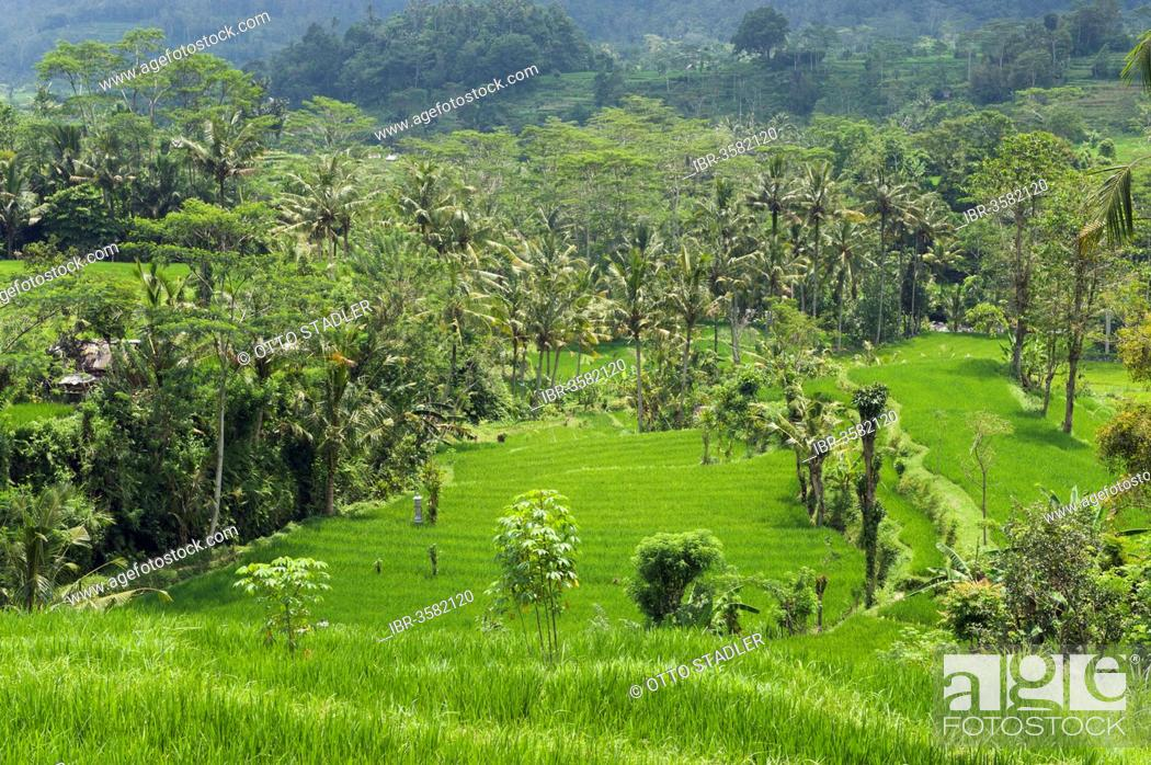 Stock Photo: Rice terrace landscape with coconut palms.