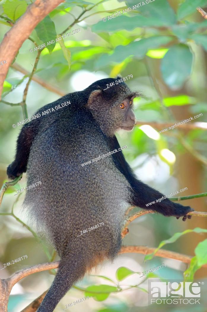 Stock Photo: Blue Monkey (Cercopithecus mitis) in tree, seen from behind, looking back, Lake Manyara National Park, Tanzania.