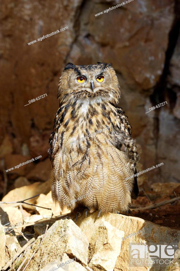 Stock Photo: Eagle Owl, Bubo bubo.