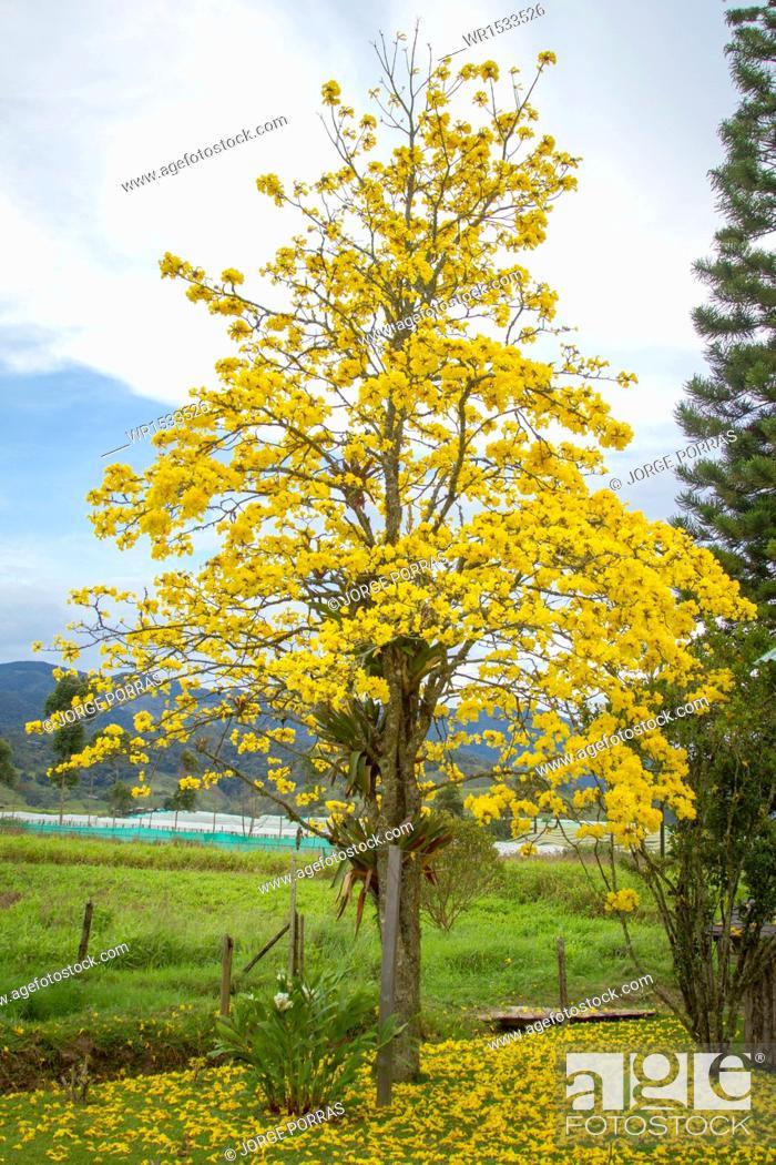 Imagen: Tabebuia chrysantha.