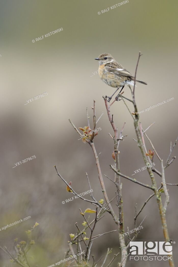 Stock Photo: Female European Stonechat ( Saxicola torquata ) perched on top of a bush in front of a natural background of heather, wildlife, Europe.