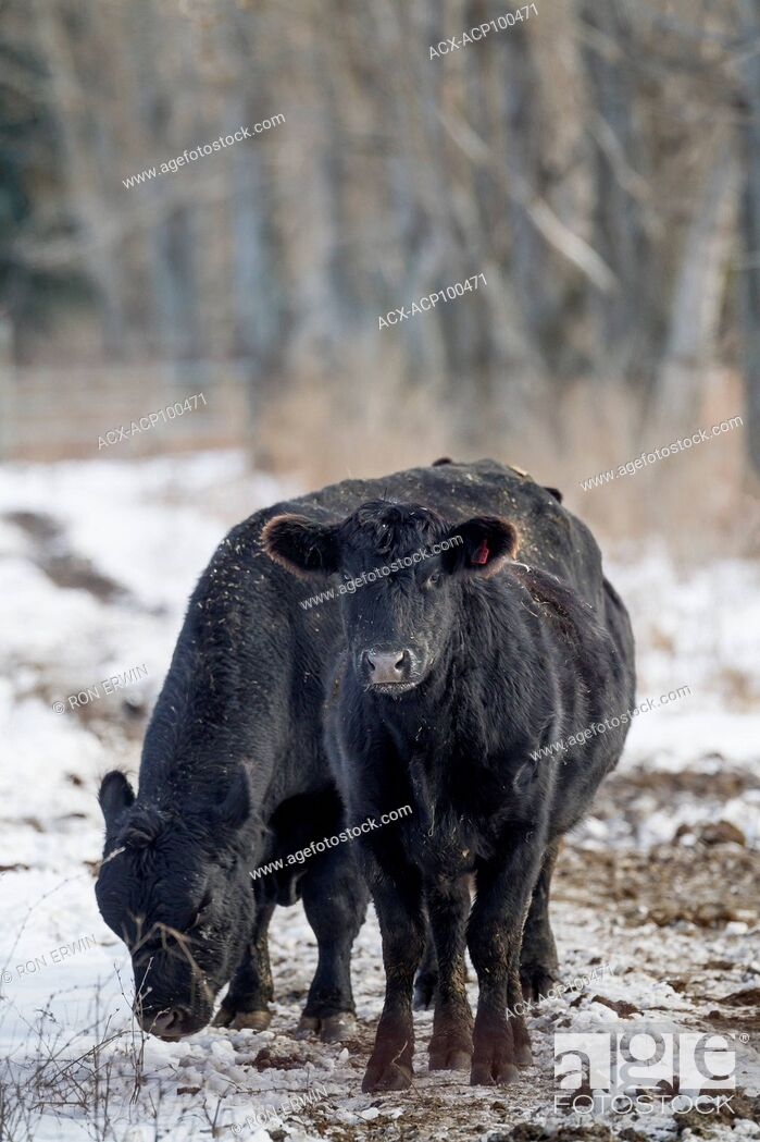 Stock Photo: Cattle grazing in winter on Wolfe Island, Ontario, Canada.