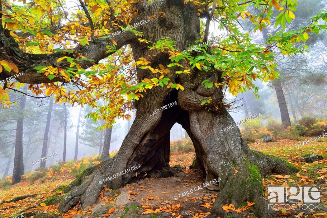 Imagen: Old chestnut in autumn.